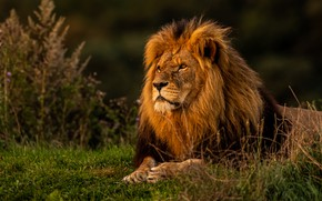 Picture grass, Leo, the king of beasts, wild cat
