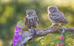 Picture leaves, flowers, birds, background, two, pair, owls, a couple, Duo, owls
