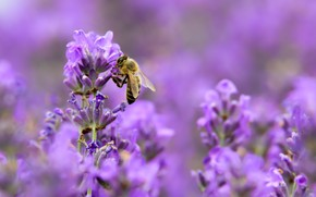 Picture macro, bee, lilac, lavender