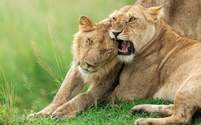 Picture pose, Leo, mouth, pair, grin, lions, lioness, relationship, two, young