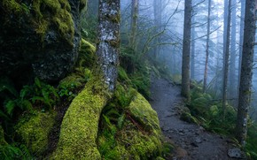 Picture forest, trees, nature, fog, moss, path
