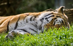 Picture grass, face, light, nature, tiger, glare, stay, sleep, sleeping, lies, wild cat, closed eyes