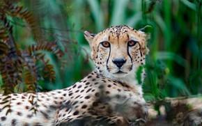 Picture greens, grass, look, face, portrait, blur, Cheetah