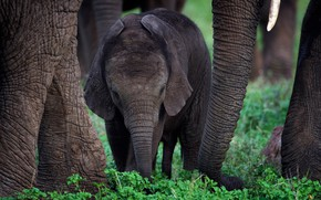 Picture nature, baby, elephants