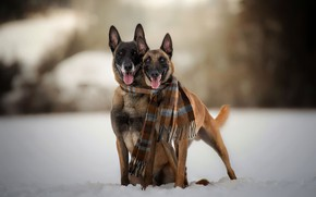 Picture winter, dogs, scarf