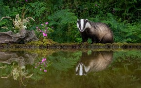 Picture greens, flowers, reflection, pond, badger