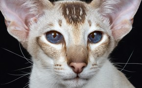 Picture look, portrait, muzzle, ears, blue eyes, cat, Oriental cat