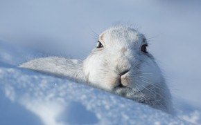 Picture winter, look, face, snow, hare, the snow, face, Bunny