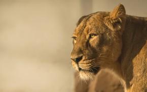 Picture look, face, light, background, portrait, lioness, wild cat