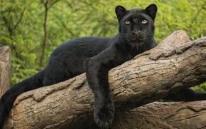 Picture look, paw, leopard, log, wild cat, black Panther
