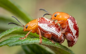 Picture leaves, macro, insects, background, plant, beetle, pair, bugs, red, a couple, two, bugs, pairing