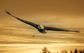 Picture the sky, trees, sunset, birds, nature, flight, bald eagle