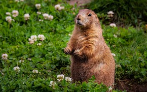 Picture glade, stand, marmot