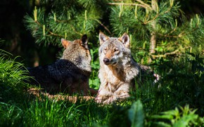 Picture face, light, nature, stay, wolf, wolves, two wolves