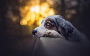 Picture forest, look, face, light, glare, Park, the dark background, background, mood, the fence, portrait, dog, …