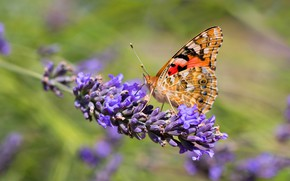 Picture macro, flowers, background, butterfly, lavender