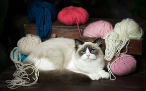 Picture cat, cat, look, lies, box, blue eyes, thread, chest, balls, yarn, ragdoll