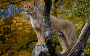 Wallpaper tree, lioness, wild cat