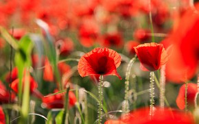 Picture field, summer, grass, light, flowers, nature, glade, bright, Mac, Maki, cute, blur, meadow, red, bokeh, …