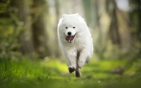 Picture dog, running, walk, bokeh, Samoyed