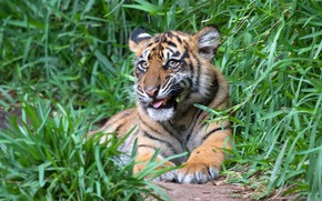 Picture greens, language, grass, look, face, nature, tiger, pose, background, animal, paws, lies, weed, tiger, the …