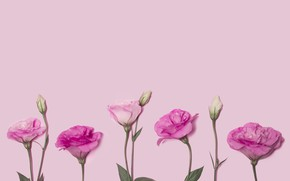 Picture flowers, pink, pink background, pink, flowers, eustoma, eustoma