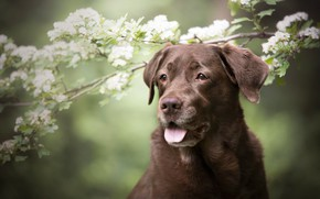 Wallpaper language, look, face, flowers, branches, nature, portrait, dog, spring, white, flowering, green background, brown