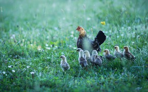 Picture summer, grass, birds, nature, glade, chickens, chicken, walk, Chicks, family, brood, home, lemming