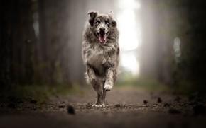Picture joy, dog, running, walk, bokeh, Australian shepherd, Aussie