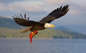 Picture flight, bird, fish, mining, bald eagle