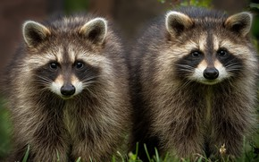 Picture nature, background, Raccoon