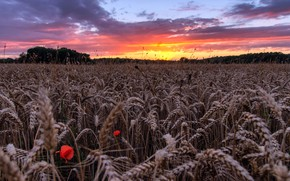 Picture field, summer, sunset, ears