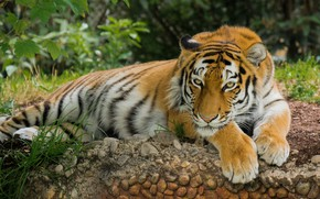 Wallpaper nature, stay, Tiger