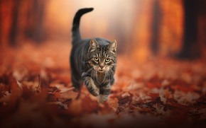 Wallpaper autumn, cat, look, leaves, foliage, face, bokeh, cat