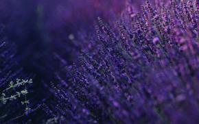 Picture purple, summer, lavender