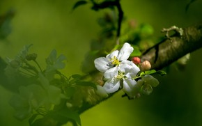 Picture nature, tree, Apple