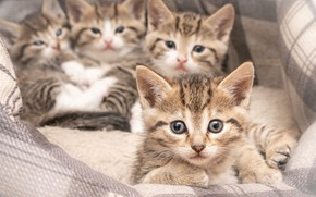 Picture look, muzzle, kittens, kitty, kids