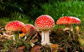 Picture forest, grass, leaves, nature, glade, mushrooms, mushroom, mushroom, hats, Amanita, red, mushrooms, family