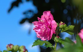 Picture leaves, light, pink, garden, buds, bokeh, blue sky, hibiscus, Terry