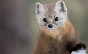 Picture look, background, muzzle, animal, Marten