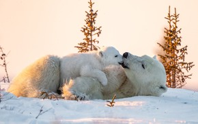 Picture winter, animals, snow, nature, predators, bear, cub, polar bears, bear
