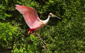 Picture bird, pink, wings, feathers, bokeh, beak