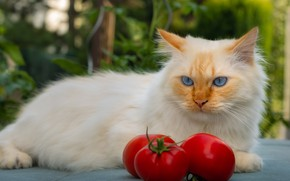 Picture cat, cat, look, face, pose, red, lies, tomatoes