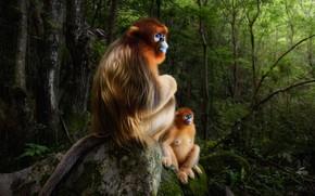 Picture forest, snow monkeys, Chinese snub-nosed monkey, Roxellana rhinopias