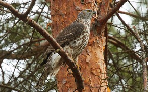 Picture forest, bird, branch, Falcon, sitting, pine