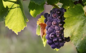 Picture leaves, macro, grapes, bunch