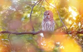 Picture autumn, branches, owl, bird, yellow background, bokeh, owl