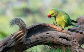 Picture grass, look, pose, green, fright, bird, parrot, Chipmunk, snag, log, bokeh