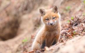 Picture look, background, portrait, baby, muzzle, Fox, bokeh, Fox, Fox