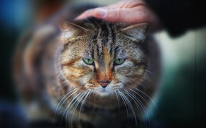 Picture cat, look, hand, muzzle, Kote, bokeh, serious